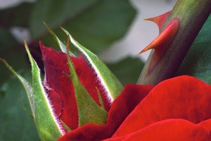 red-rose-thorn