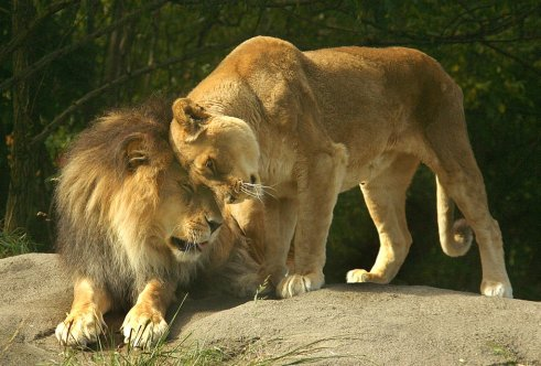 Lion_Love_by_kijani_lion